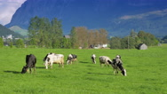 Stock Video Footage of 4K Austrian idyllic landscape with cows in the meadow
