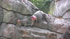 Large group of Baboons walking up a rocky outcrop Stock Footage