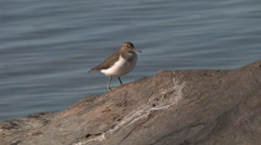 Sandpiper standing on a stone - stock footage