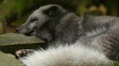 4K Uhd polarfox sleeping Stock Footage