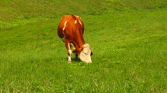 Cow grazing grass on a pasture Stock Footage
