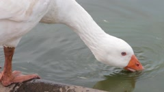 Ducks and Geese Swimming and Feeding in a Pool on a Farm Stock Footage