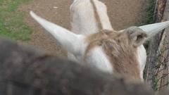 Goats on a Farm - Animals & Wildlife Stock Footage