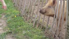 Pigs on a Farm Yard Stock Footage