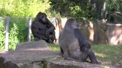 Gorillas in wildlife park Stock Footage
