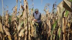 Old man working hard in cornfield, farmer harvesting corn cobs, crop - stock footage