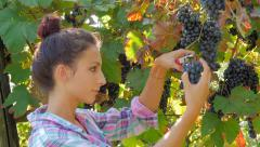 young woman harvesting grapes - stock footage