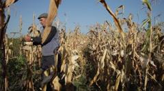 Growing sweet corn, old farmer harvesting corn cobs, crop, harvest - stock footage