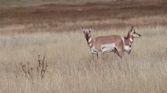 Pronghorn antelope, Antilocapra americana - stock footage