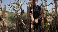 Old farmer gathering corn cobs in cornfield Stock Footage