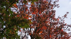 Autumn leaves on acer tree nature background - stock footage