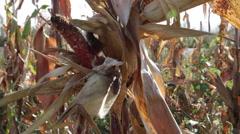 Damage sweet corn cobs, grain eaten by rats, animal, cornfield, farm - stock footage