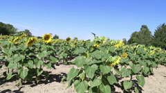 A large amount of Sunflowers drooping on a sunny day Stock Footage