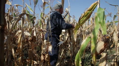 Elderly farmer at a farm in harvest gathering corn cobs in cornfield Stock Footage