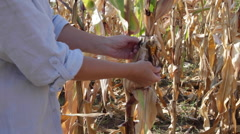 Woman farmer's hands at a farm in harvest gathering corn cobs in cornfield Stock Footage