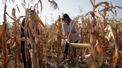 Family gathering corn cobs, farmers, woman, man, working on cornfield - stock footage