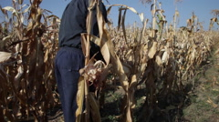 Father and daughter in cornfield, farmers harvesting homegrown corn, farm Stock Footage