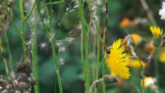Wildlife Hover Fly collecting pollen on dandelion flowers nature background Stock Footage