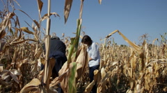 People gathering maize, cornfield, harvest, yield, agriculture, cereal plant Stock Footage