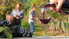 Grape harvest in a sunny day Stock Footage