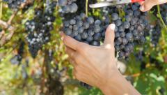 Harvesting a bunch of grapes Stock Footage