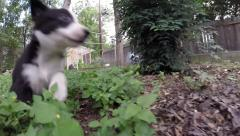Baby McNabb puppies running and playing Stock Footage