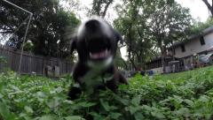 Baby McNabb puppies running and playing in the clover field - stock footage