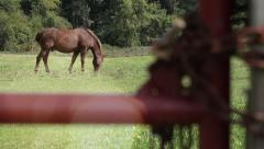 Brown male horse grazing in a paddock Stock Footage