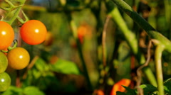 Tomato, plants, garden, vine, 4K, UHD Stock Footage