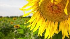 Sunflower on field Stock Footage
