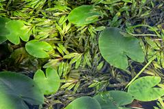 Stock Photo of Aquatic plant leaves floating on water surface