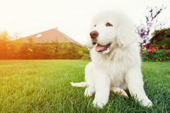Stock Photo of cute white puppy dog sitting on grass. polish tatra sheepdog, known also as p
