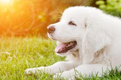 cute white puppy dog lying on grass. polish tatra sheepdog - stock photo