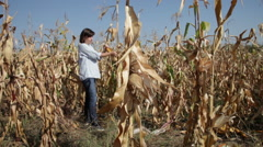 Woman gathering corn cobs in cornfield, farm, farmer, harvest, yield, crop Stock Footage