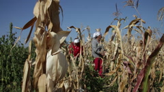 Stock Video Footage of Women harvesting homegrown sweet corn, traditional farm, farmers