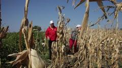 Women picking sweet corn cobs, cornfield, farm, farmers, yield, crop - stock footage