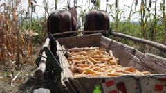 Horse pulled wagon full of dried sweet corn, cornfield, farm, harvest, crop - stock footage