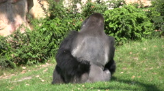 Silverback Gorilla sitting on grass Stock Footage