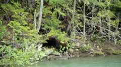 Wild Brown Bear with cubs Canadian forest Wilderness  Canada Stock Footage