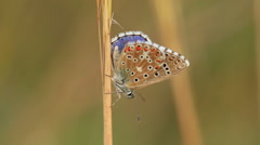Close up of a beautiful butterfly(Common Blue,Polyommatus icarus) Stock Footage