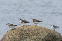Four shorebirds on a rock Stock Photos