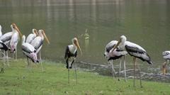 Painted Stork (Mycteria leucocephala). Stock Footage