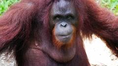 Bornean orangutan (Pongo pygmaeus) Stock Footage