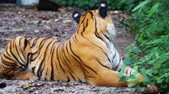 Malayan Tiger (Panthera Tigris Jacksoni) Stock Footage