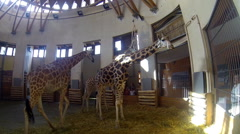Giraffes at a Zoo Stock Footage