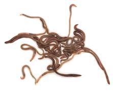 Earthworms on a white background Stock Photos