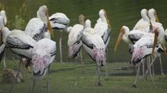 Painted Stork, Mycteria leucocephala. Stock Footage