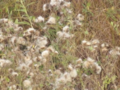 Ukrainian nature, goldfinches on thistle Stock Footage