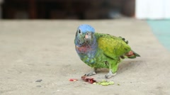 Blue headed parrot defecates Stock Footage