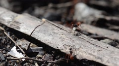 Army ants run through frame Stock Footage